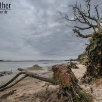 Baumstämme auf der Halbinsel Holnis