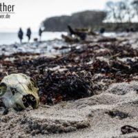 Schädel am Strand von Katharinenhof