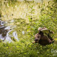 Ente im Schlosspark Kalkum